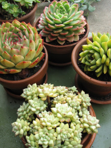 Custom Potted Succulents - Perfect green favor idea for weddings or showers!